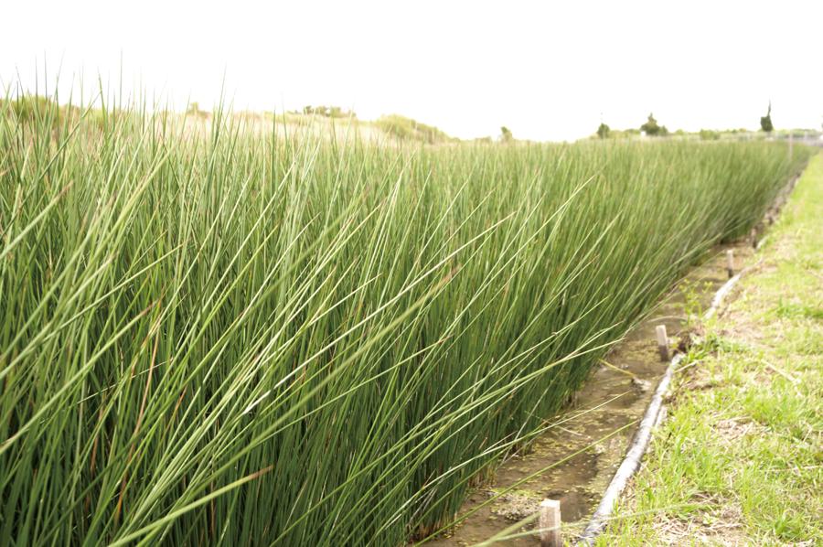純国産のい草栽培風景